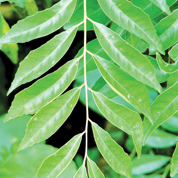 Curry Leaf Is Native To India And Sri Lanka A Fast Growing Bush Or Tree With Deeply Scented Fernlike Foliage