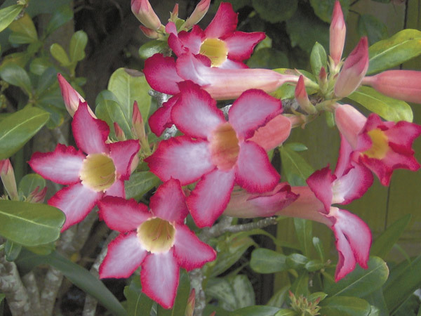 Desert rose is a hardy house plant that blooms | Cape Gazette on sage house plant, egg house plant, five leaves new york, five leaves vine, five leaves ground cover, five leaves poisonous plants,