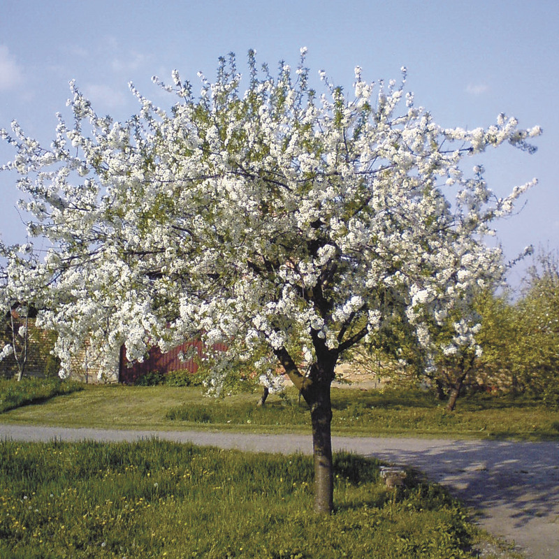 Black republican cherry trees will get a vote on flavor cape gazette this small tree blooms with beautiful fragrant white flowers in the spring mightylinksfo Image collections