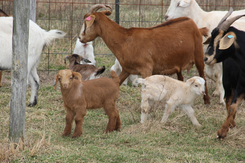 Goats replace soldiers and prisoners at Fort Saulsbury