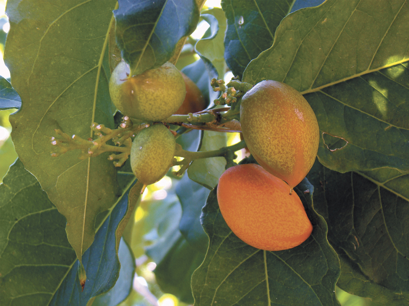 Peanut Butter Fruit can easily be grown indoors
