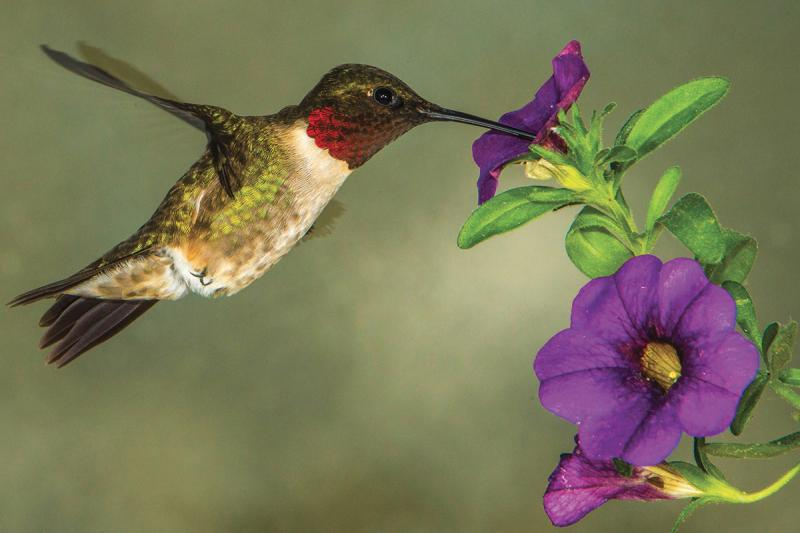 Plant Hummingbird Friendly Flowers This Year
