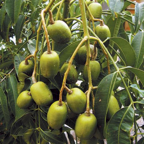 June Plum Fairly Tough Plants Cape Gazette
