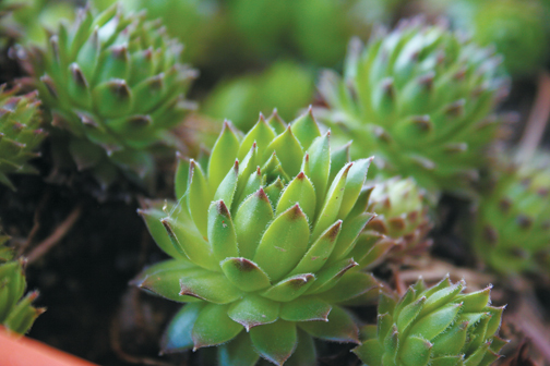 The succulent hen and chicks is the ideal gift plant | Cape
