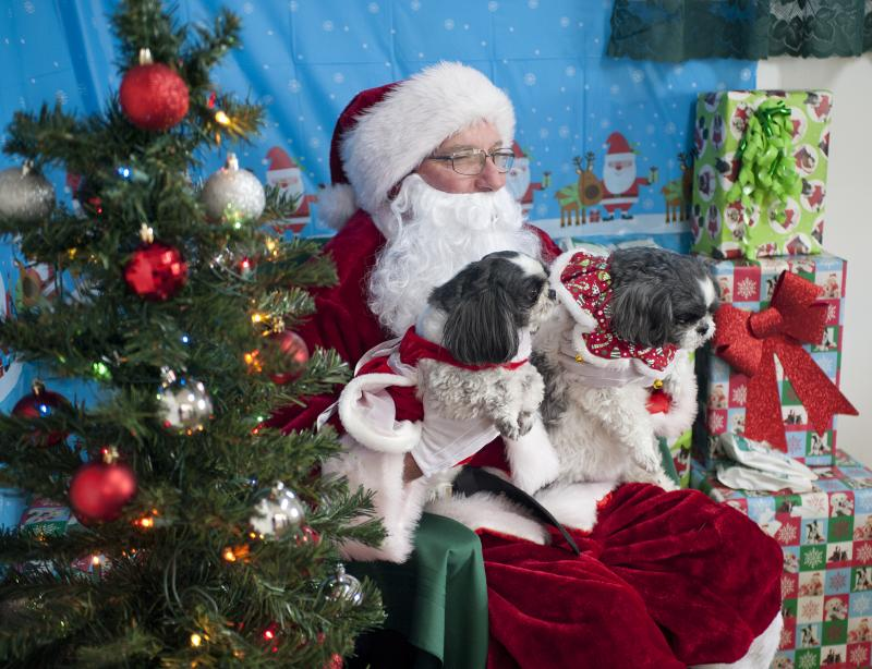 owner mitch schue plays santa claus and poses for photos with a pair of shih tzus - When Is Christmas Celebrated