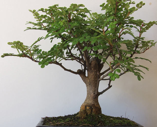 Elephant Tree Is An Interesting Houseplant Cape Gazette