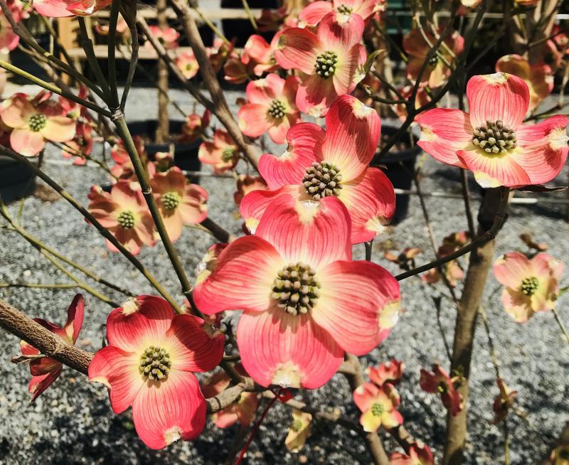 Trees are in bloom at whartons garden center cape gazette cherokee brave flowering dogwood mightylinksfo