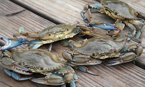 Blue Crab Population Decreases For Second Year Cape Gazette