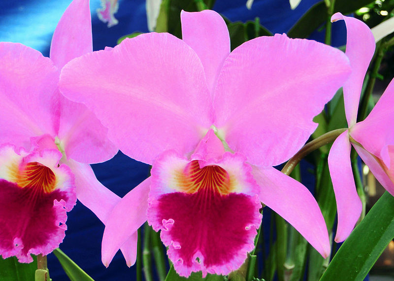 Cattleya Orchids Need Plenty Of Bright Light To Grow Well Cape