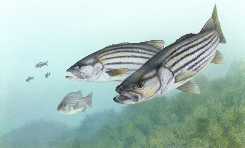Shutdown stalling striped bass management decisions | Cape