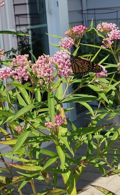 A newly arrived monarch settles in Marianne's yard. SUBMITTED PHOTOS