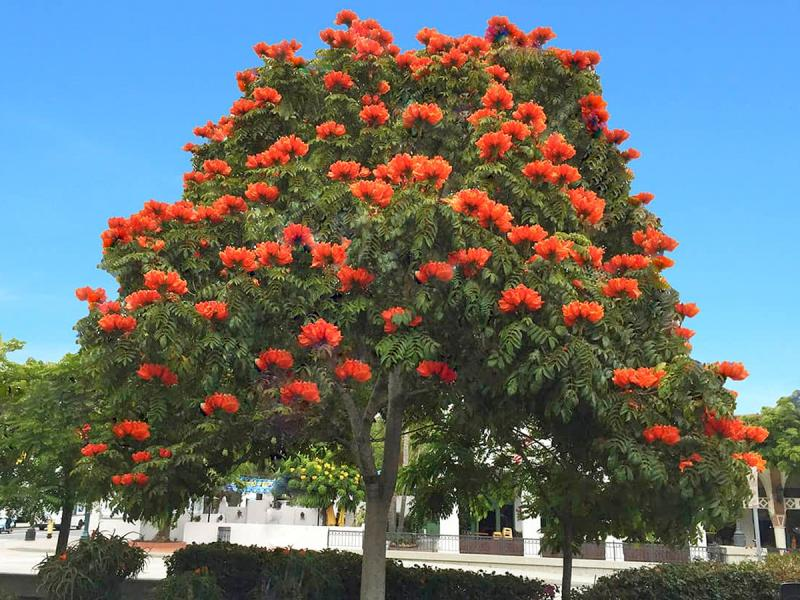 In traditional medicine the Tuliptree has many uses | Cape Gazette