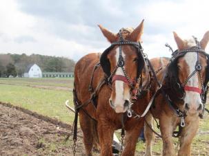Wicomico, Wicomico County, Wicomico County Tourism, horses, Mount Hermon Plow Days, Salisbury